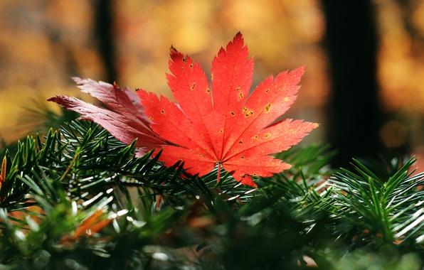 Картинка осень, листья, природа, клён, хвоя, время года