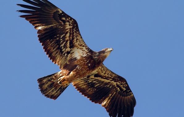 Картинка свобода, полет, птица, крылья, хищник, Орел, взмах