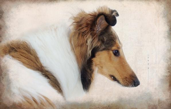 Картинка стиль, фон, собака, колли