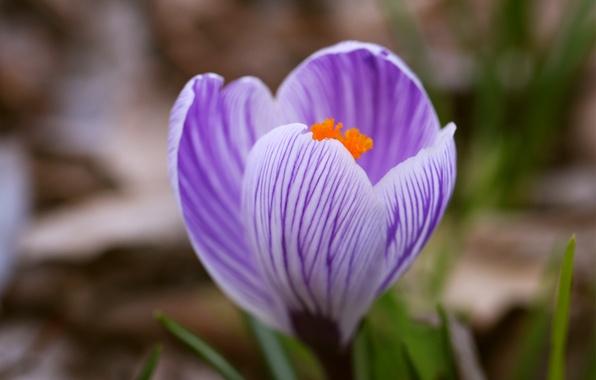 Картинка цветок, трава, макро, сиреневый, один, весна, размытость, полосатый, Крокус