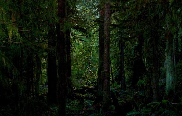 Картинка лес, деревья, мох, чаща