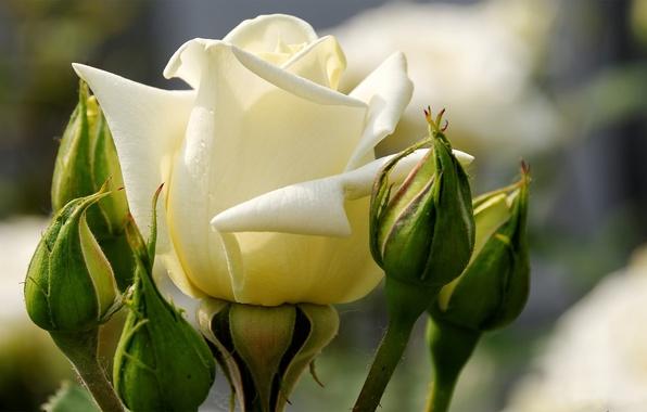 Роза белые лепестки бутоны макро
