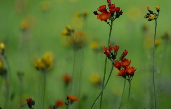 Картинка поле, трава, цветы, растение, луг