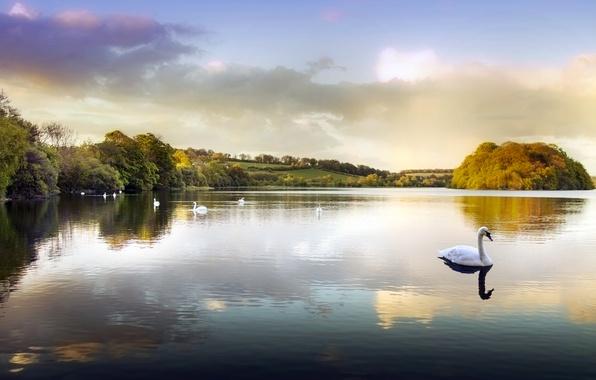 Картинка вода, озеро, пруд, парк, лебеди