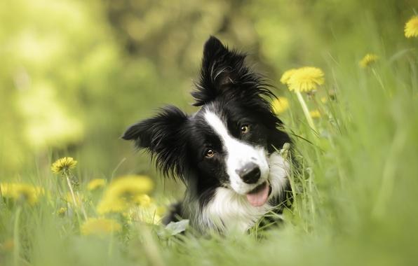 Картинка взгляд, морда, цветы, собака, одуванчики, боке, Бордер-колли