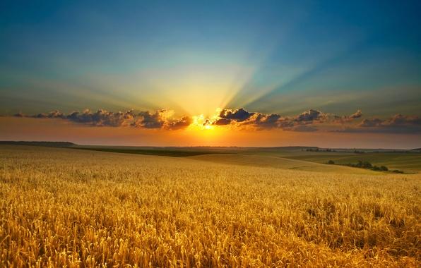 Картинка поле, солнце, облака, лучи, закат, природа, золото, рассвет, красота, колосья