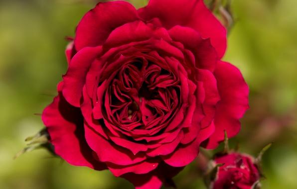 Картинка макро, фон, роза, лепестки, красная роза, бутоны