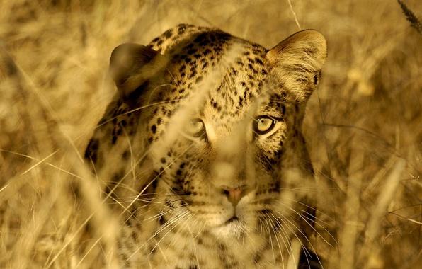 Картинка кошка, трава, глаза, морда, стебли, хищник, леопард, саванна, охота, дикая, затаился