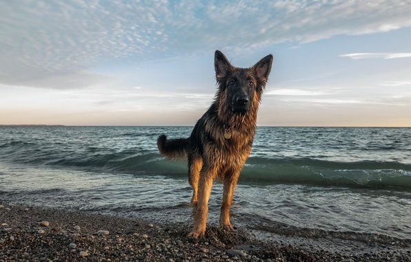 Картинка море, взгляд, друг, собака
