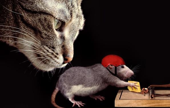 Картинка кошка, кот, морда, ситуация, сыр, мышеловка, каска, крыса