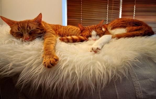Картинка orange, sleeping, Cats, buddies, tabbies