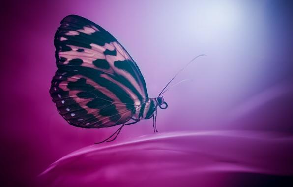 Картинка фон, бабочка, цвет, крылья, насекомое, мотылек