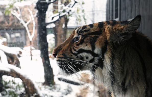 Картинка зима, морда, снег, тигр, хищник, профиль, мех, дикая кошка