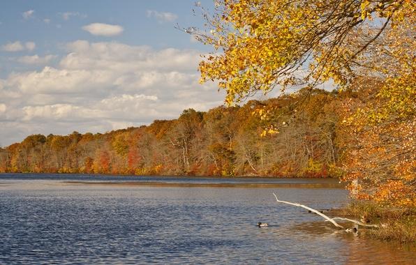 Картинка осень, лес, небо, листья, вода, облака, деревья, река, утка