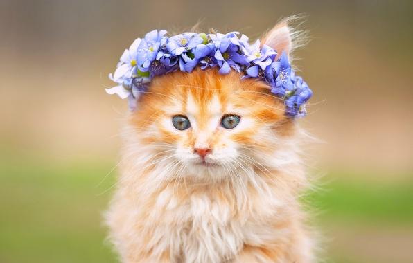 Картинка цветы, пушистый, мордочка, котёнок, венок