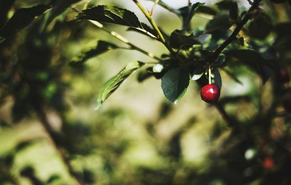 Картинка листья, макро, деревья, красный, вишня, зеленый, фон, дерево, widescreen, обои, размытие, листик, wallpaper, листочки, trees, …