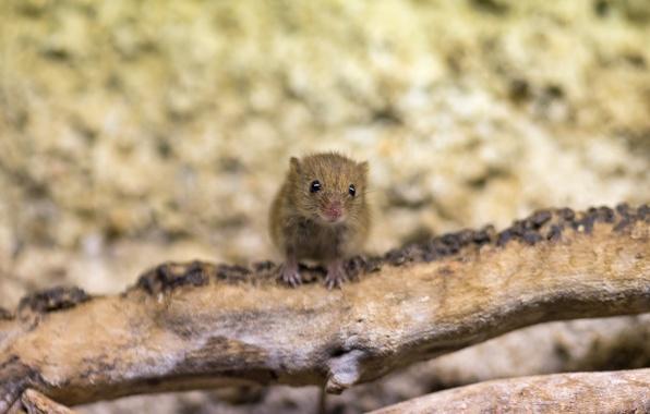 Картинка взгляд, морда, мышь, мышка, коряга, грызун, ©Tambako The Jaguar