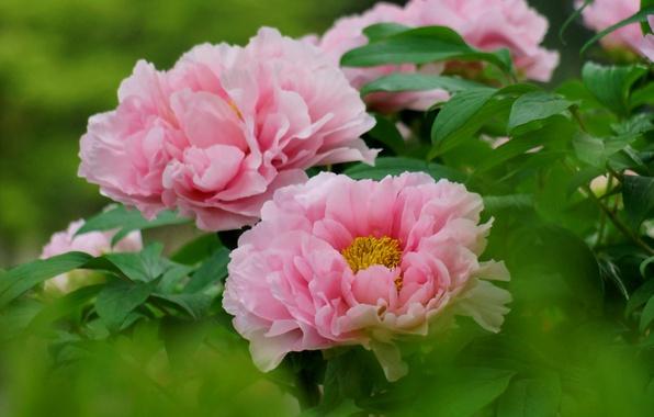 Картинка листья, куст, фокус, розовые, пионы