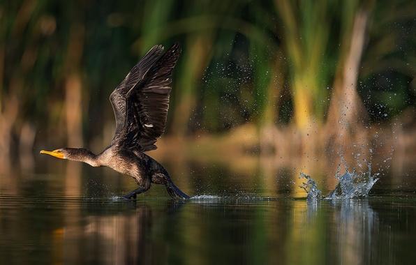 Картинка брызги, птица, крылья, всплеск, взмах, взлёт