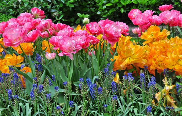 Картинка цветы, фото, тюльпаны, много, люпин