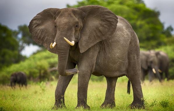 Картинка животные, слон, саванна, Африка, слоны, бивни