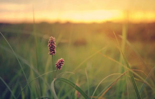 Картинка зелень, поле, цветок, лето, трава, закат