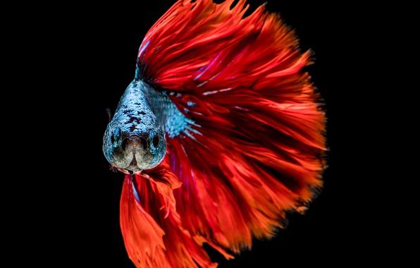 Картинка colors, red, blue, fish, head
