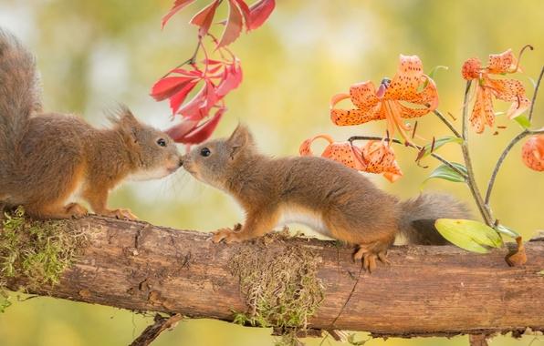Картинка осень, животные, цветы, природа, дерево, лилии, ветка, пара, белки, грызуны