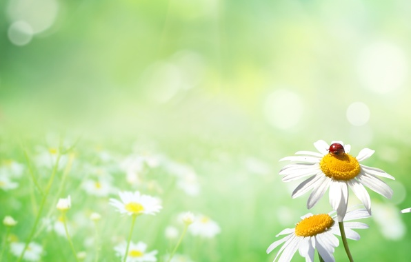 Картинка природа, поляна, божья коровка, ромашки, nature, ladybug, chamomile, Polyana