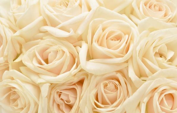 Картинка цветы, фон, розы, растения, пастель, пастельный