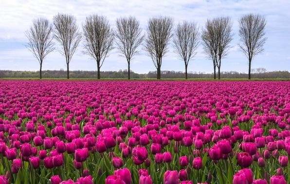 Картинка небо, облака, деревья, Поле, тюльпаны