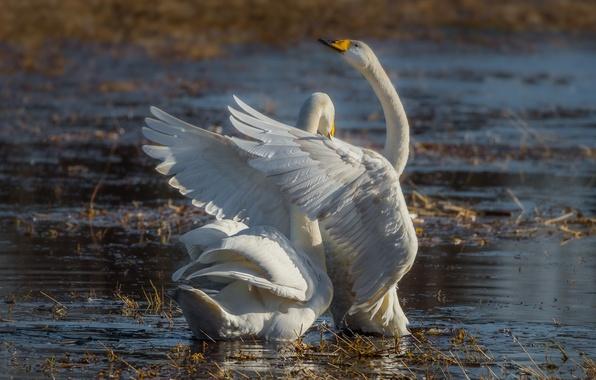 Картинка крылья, пара, грация, лебеди, водоём