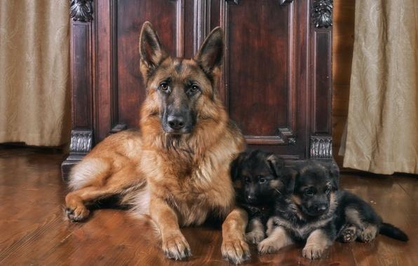 Картинка семья, щенки, мама, немецкая овчарка