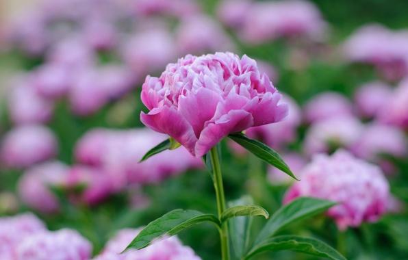 Фото обои пион, весна, розовый
