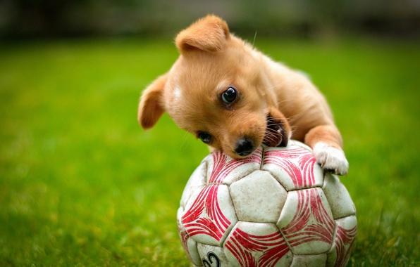 Картинка игра, мяч, собака, рыжий, щенок, лужайка