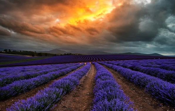 Картинка поле, облака, цветы, тучи, природа, Австралия, лаванда, Тасмания