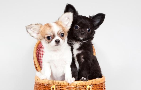 perro chihuahua fondo de - photo #46