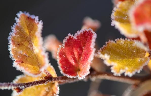 Картинка лед, листья, макро, снег, желтые, красные, изморозь
