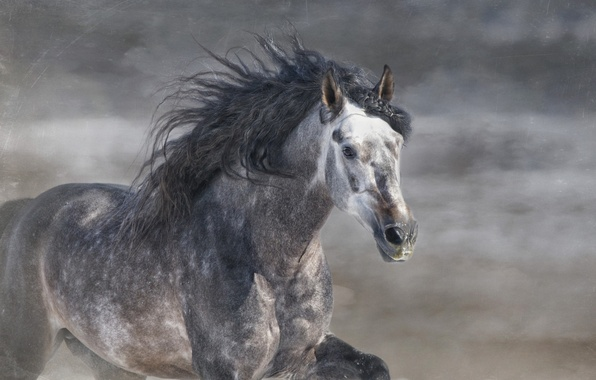 Картинка серый, конь, лошадь, жеребец, бег, грива, галоп, © Ryan Courson Photography