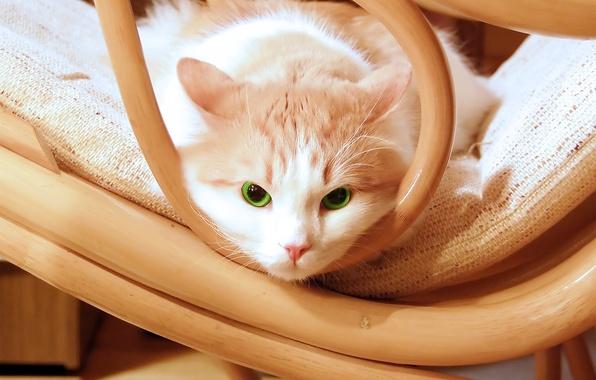 Картинка глаза, зеленый, котенок, green, Кошка, стул, kitten, eyes, красивый, cat, beautiful, chair, kitty