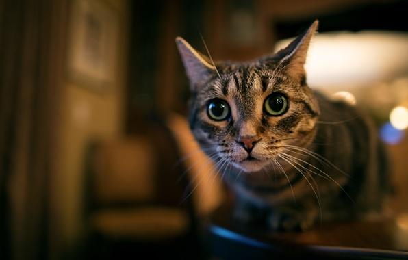 Фото обои глаза, кот, смотрит