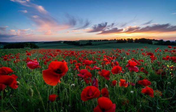 Картинка поле, небо, трава, облака, деревья, закат, цветы, природа, холмы, поляна, вечер, лепестки, Маки, красные