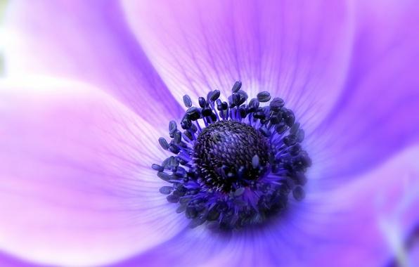 Картинка цветок, макро, сиреневый, нежность, фокус, лепестки, Анемона, ветреница