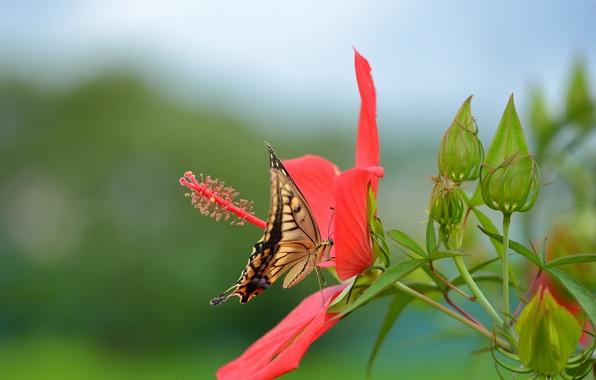 Картинка цветок, красный, бабочка, махаон, гибискус