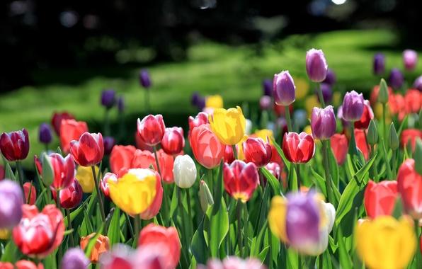 Картинка поле, цветы, желтые, лепестки, фиолетовые, тюльпаны