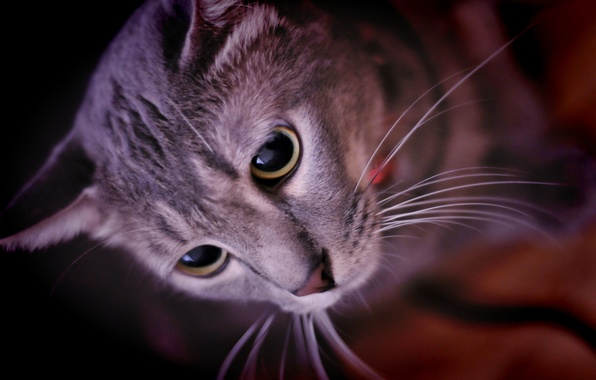 Картинка глаза, кот, усы, взгляд, морда, животное, уши