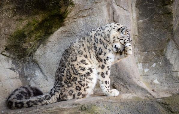Картинка поза, камни, скалы, лапа, хищник, пятна, хвост, мех, ирбис, снежный барс, дикая кошка, зоопарк, умывается, …