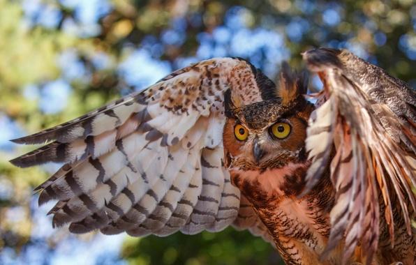 Картинка глаза, сова, птица, крылья, окрас