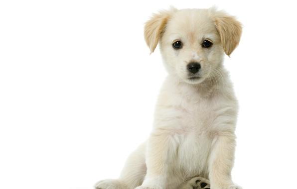 Картинка белый, щенок, белый фон, сидит
