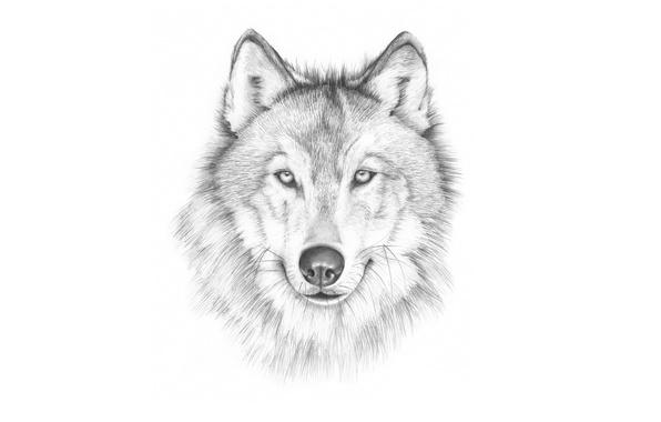 Картинка морда, волк, живопись, светлый фон, wolf